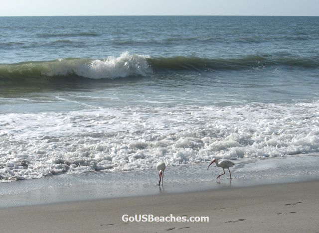 Birds searching for food in Atlantic Ocean Waves - Cocoa Beach, Florida