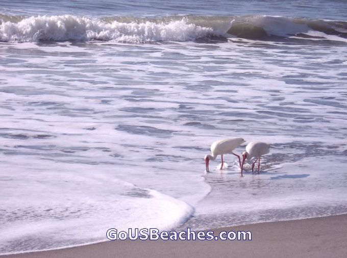 Cocoa Beach - Birds Looking for a Sand Crab Lunch in Atlantic Ocean Waves