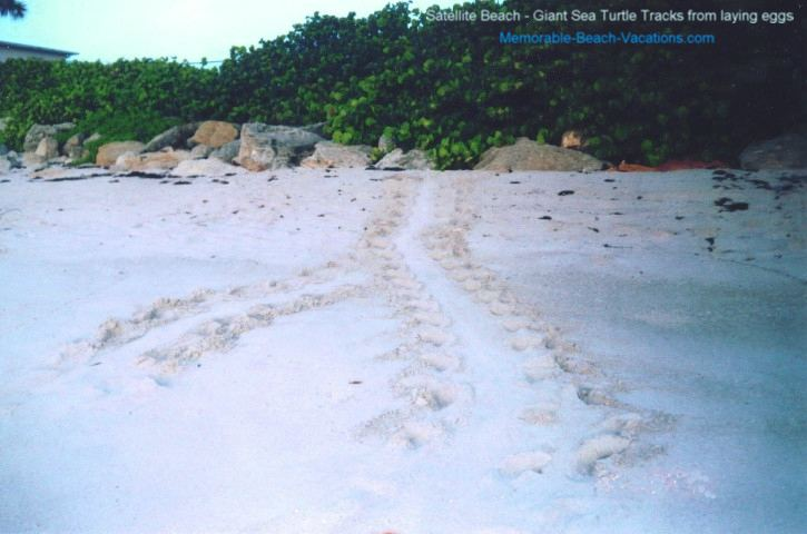 Giant Sea Turtle Tracks on beach - Coming and Going from laying eggs