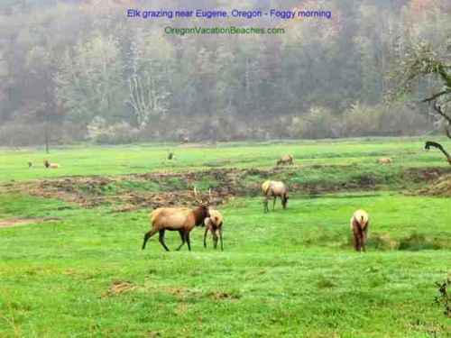 Elk grazing in a foggy meadow on day trip to Sisters Oregon