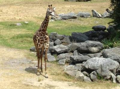 Giraffe in African Section natural habitat